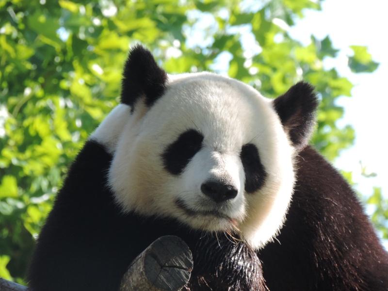 Pandas et Koalas  Dscn0913