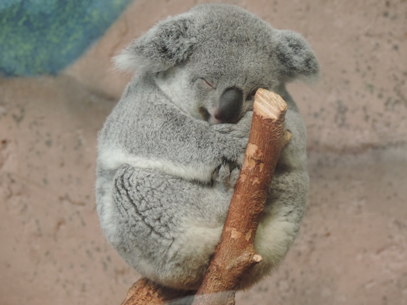 Pandas et Koalas  Dscn1017