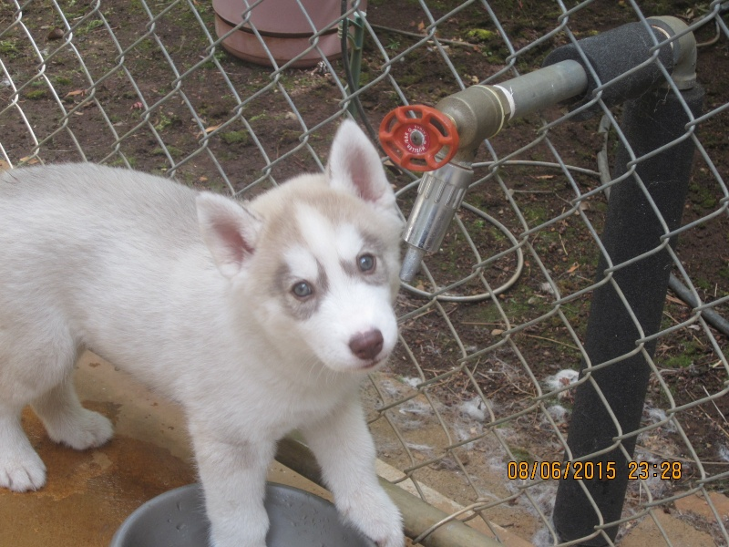 I get my puppy in less than 3 weeks! Sakima10