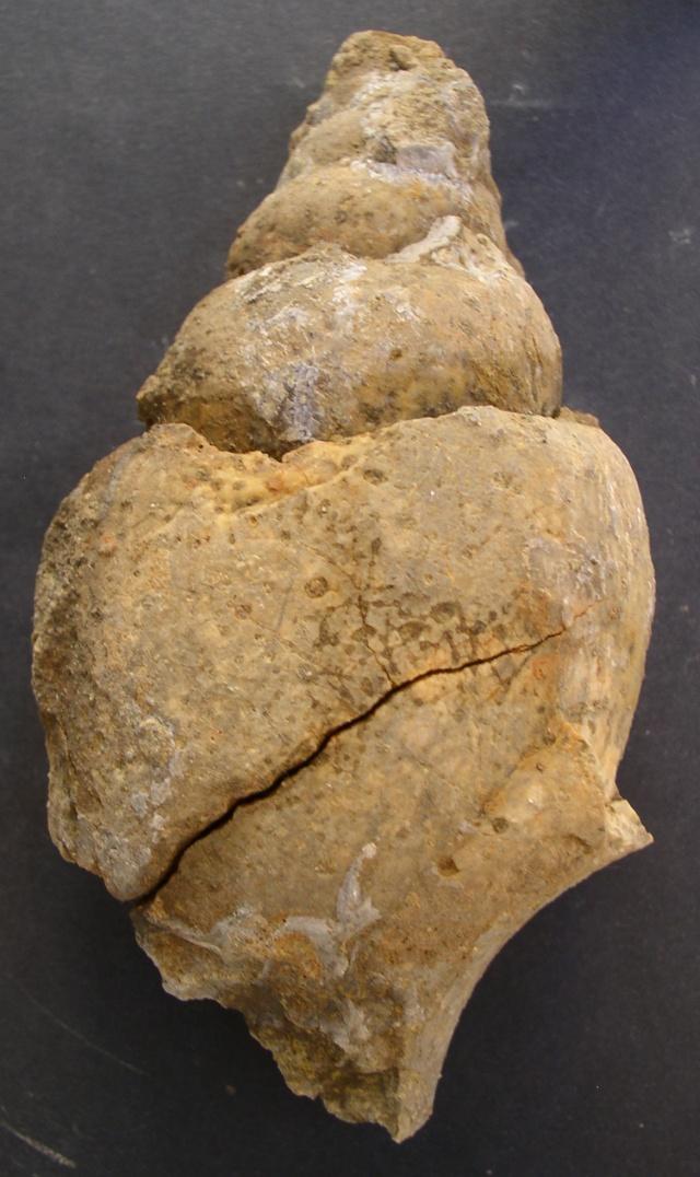 XXL fragment ressemble Tudicla P1010018