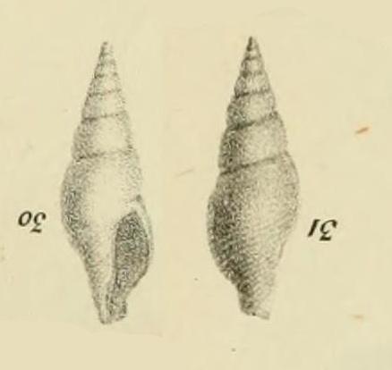 ressemble à un Clavilithe mineur Ptycha10