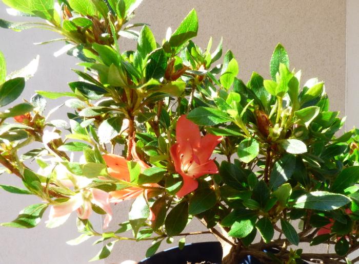 le club émeraude bonsaï  expose le 6 et 7 juin P1030110