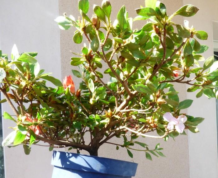 le club émeraude bonsaï  expose le 6 et 7 juin P1030111