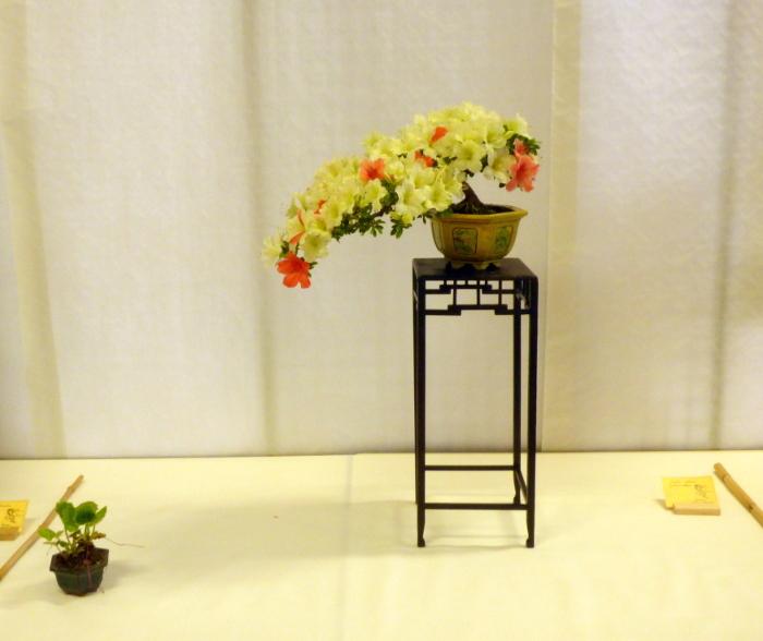 le club émeraude bonsaï  expose le 6 et 7 juin P1030311