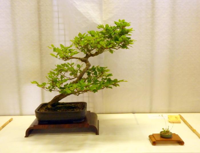 le club émeraude bonsaï  expose le 6 et 7 juin P1030312