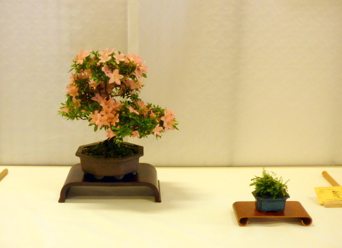 le club émeraude bonsaï  expose le 6 et 7 juin P1030313