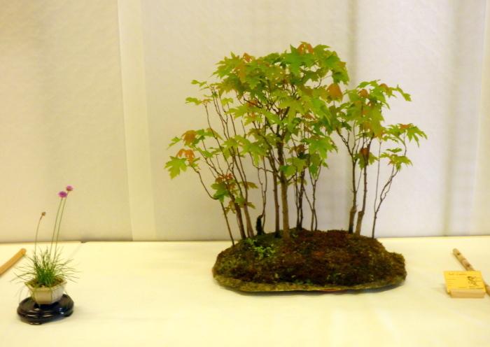 le club émeraude bonsaï  expose le 6 et 7 juin P1030314