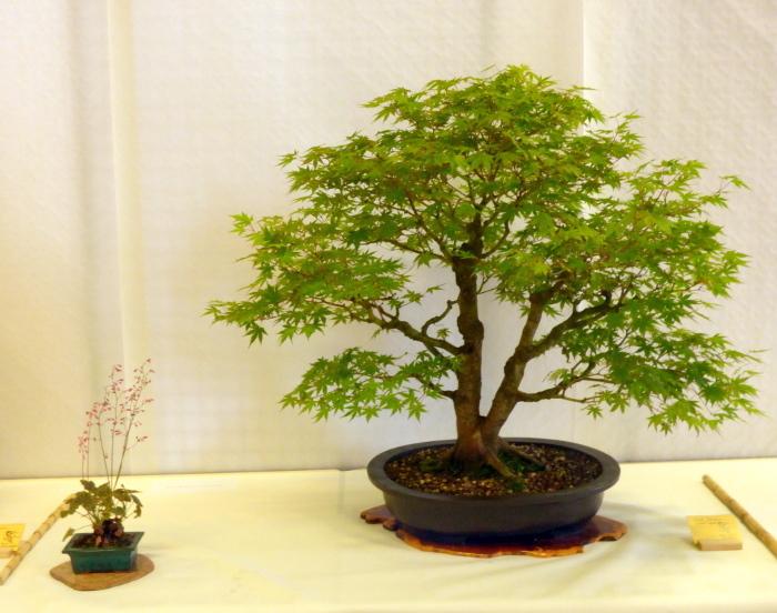 le club émeraude bonsaï  expose le 6 et 7 juin P1030315