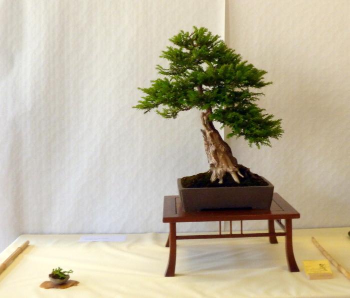 le club émeraude bonsaï  expose le 6 et 7 juin P1030320