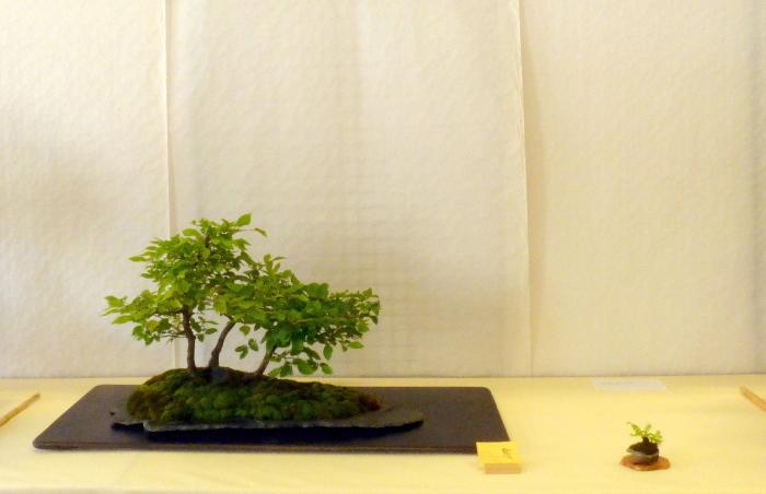 le club émeraude bonsaï  expose le 6 et 7 juin P1030321