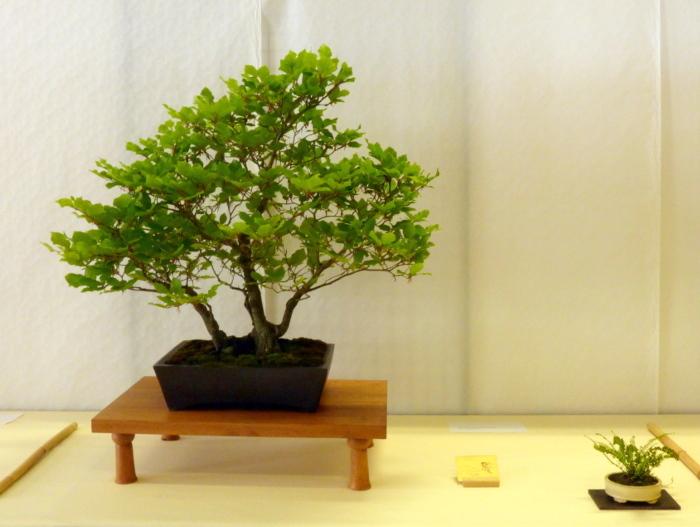 le club émeraude bonsaï  expose le 6 et 7 juin P1030322