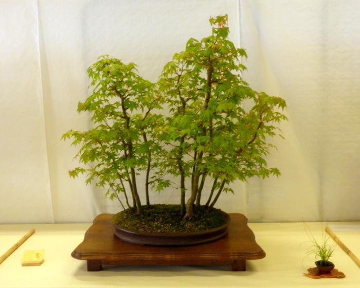 le club émeraude bonsaï  expose le 6 et 7 juin P1030323