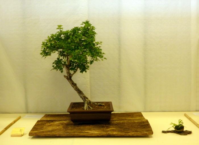 le club émeraude bonsaï  expose le 6 et 7 juin P1030324