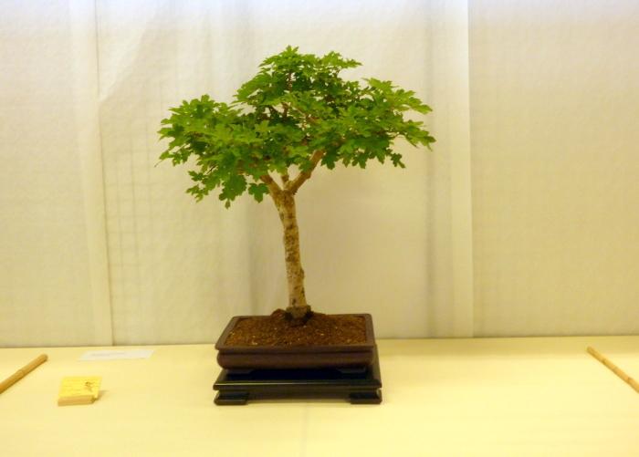le club émeraude bonsaï  expose le 6 et 7 juin P1030325