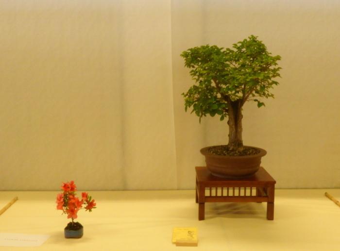 le club émeraude bonsaï  expose le 6 et 7 juin P1030326