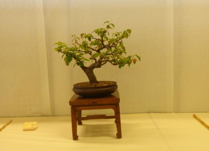 le club émeraude bonsaï  expose le 6 et 7 juin P1030327