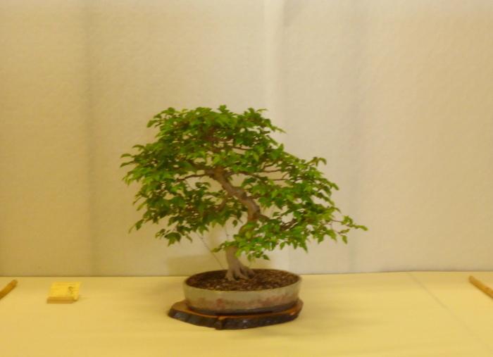 le club émeraude bonsaï  expose le 6 et 7 juin P1030328