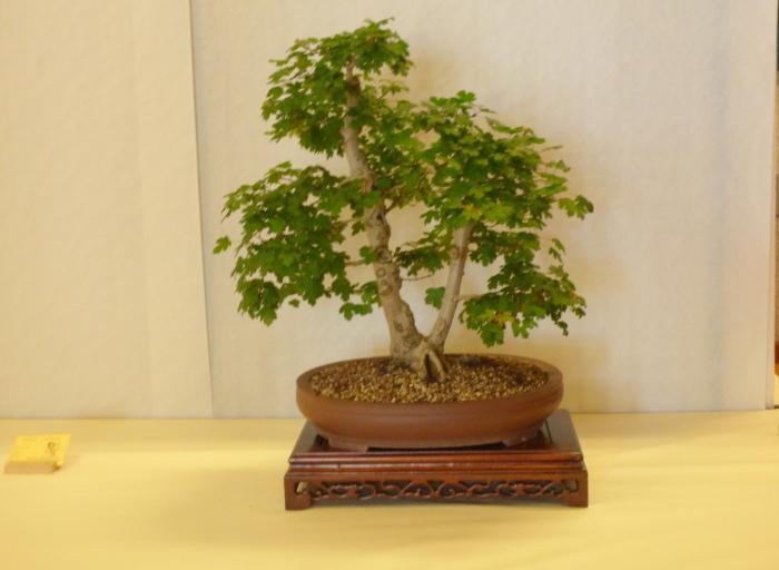 le club émeraude bonsaï  expose le 6 et 7 juin P1030329