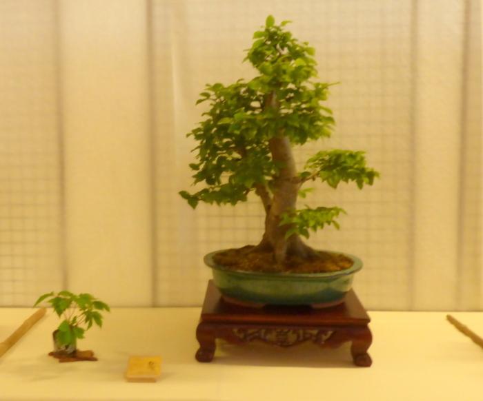 le club émeraude bonsaï  expose le 6 et 7 juin P1030332