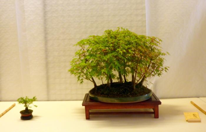 le club émeraude bonsaï  expose le 6 et 7 juin P1030334