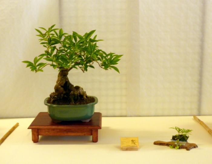 le club émeraude bonsaï  expose le 6 et 7 juin P1030335