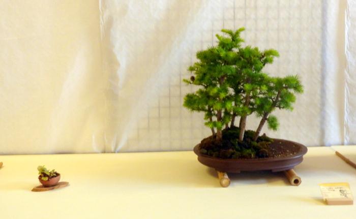 le club émeraude bonsaï  expose le 6 et 7 juin P1030339