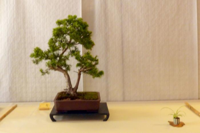 le club émeraude bonsaï  expose le 6 et 7 juin P1030342