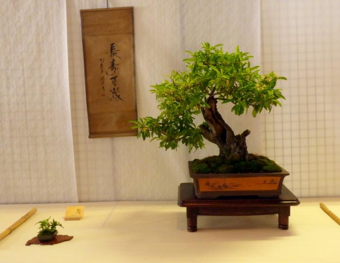 le club émeraude bonsaï  expose le 6 et 7 juin P1030343
