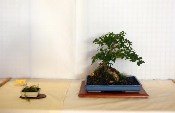 le club émeraude bonsaï  expose le 6 et 7 juin P1030348