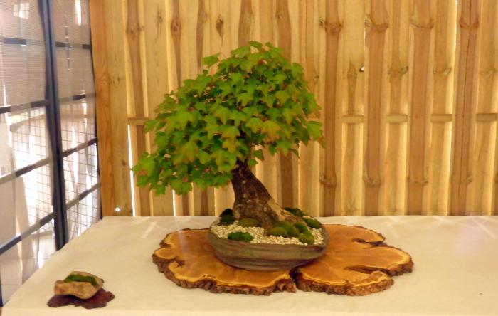 le club émeraude bonsaï  expose le 6 et 7 juin P1030350