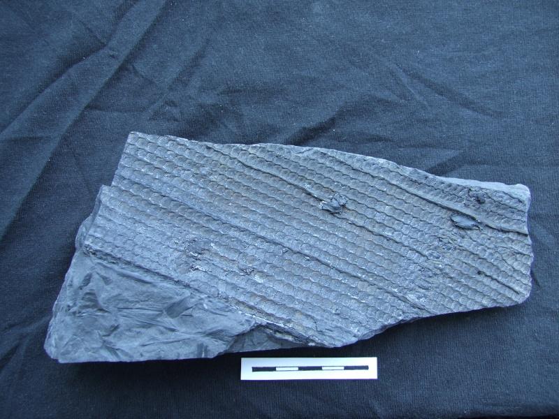 L Carboniferous of Poland Dscf2212