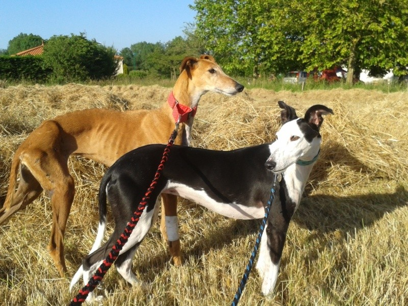 Kika galga 7 ans 1/2 marron  Scooby France  Adoptée  - Page 3 20150610