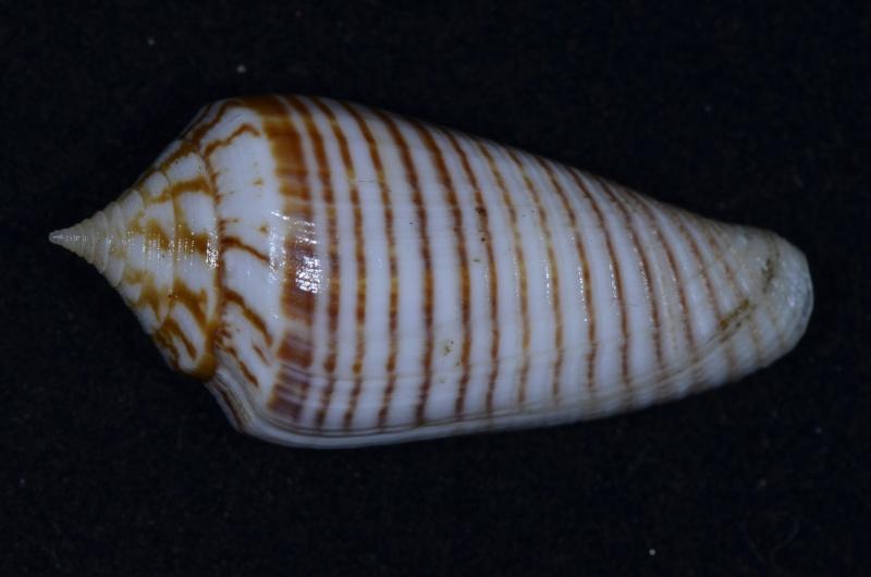 Conus (Phasmoconus) aff. mucronatus (Reeve, 1843) C_scal10