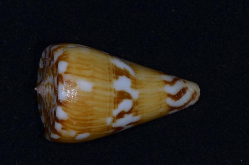 Conus (Dauciconus) jacquescolombi   Monnier & Limpalaër, 2016 Riosi-16