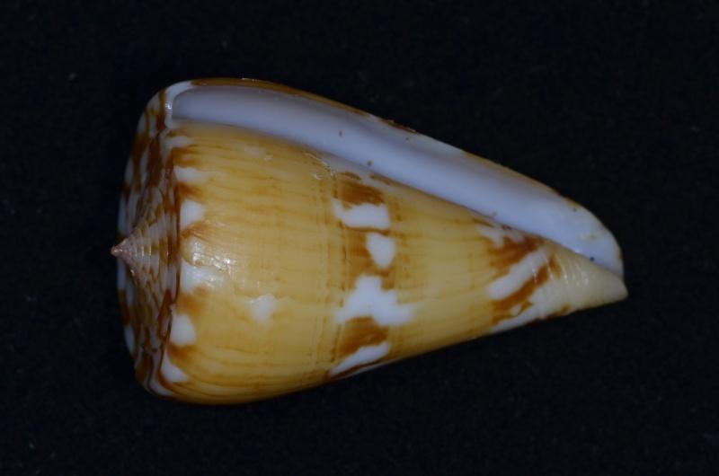 Conus (Dauciconus) jacquescolombi   Monnier & Limpalaër, 2016 Riosi-17
