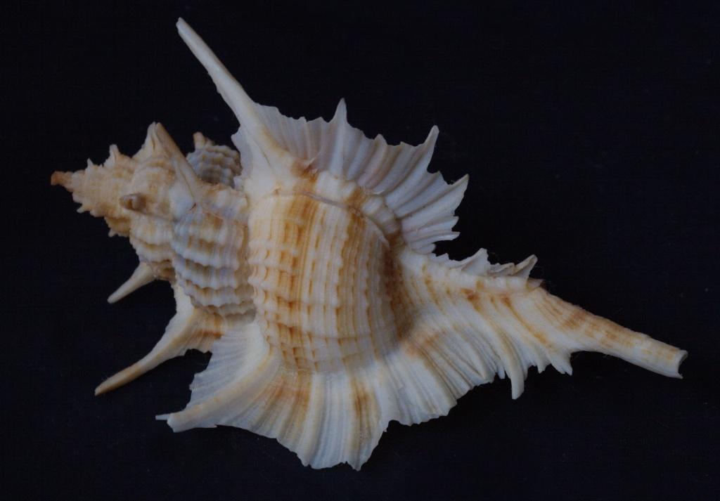 Siratus beauii - (Fischer & Bernardi, 1857) Beauii10