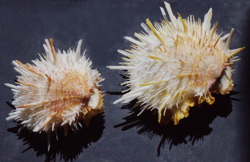 Spondylus aurispinae - (Damarco & Bologna, 2009 ) voir Spondylus americanus - Hermann, 1781  Spondy10