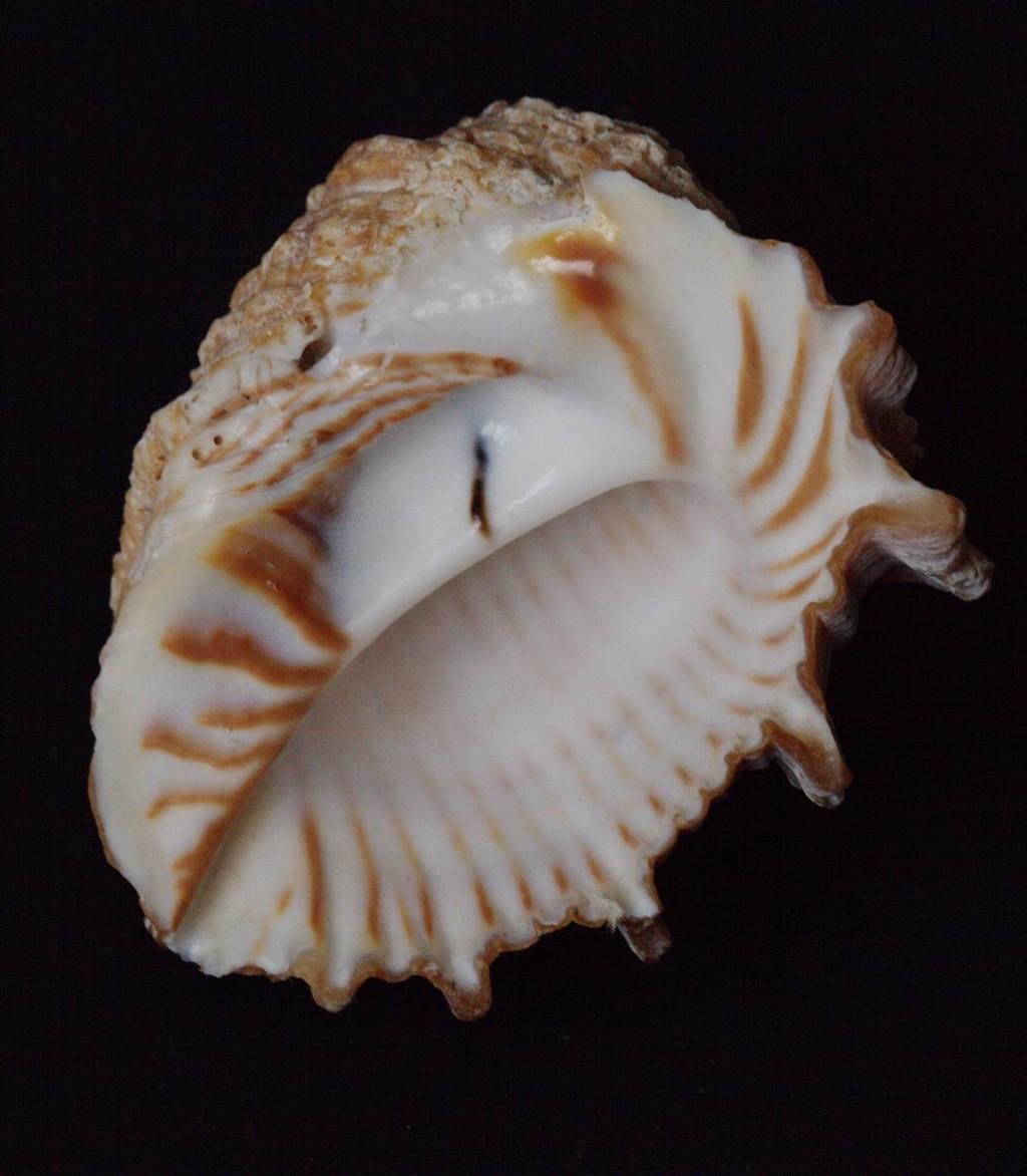 Tribulus planospira - (Lamarck, 1822) Thais10