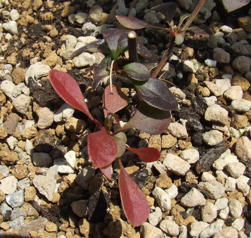 Riconoscimento arbusti: Biancospino e Berberis Berber10