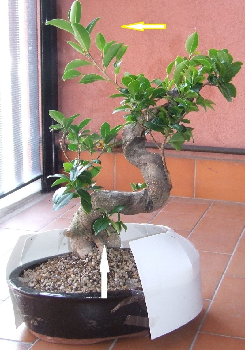 """Ficus Retusa """"Perronius"""" - Pagina 3 Ficus_10"""