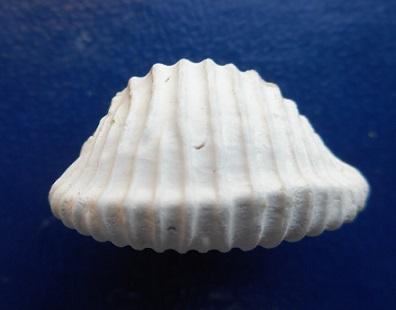 Triviidae - † Pusula permagna (Johnson, 1910) - Calabrian Pleistocene Dscn3913