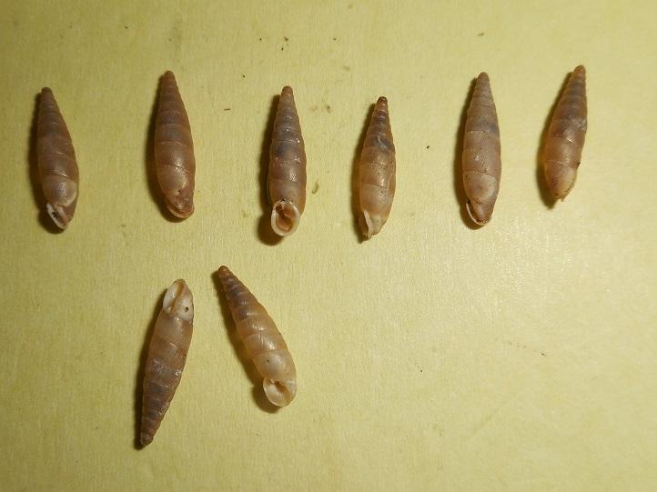 Papillifera solida (Draparnaud, 1805) Dscn4911