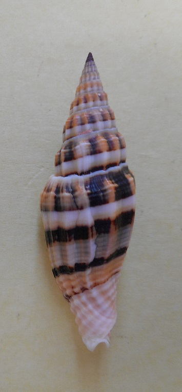 Vexillum albofulvum - Hermann, 2007 Dscn5312