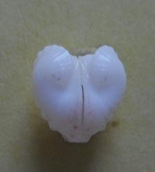 Meiocardia moltkiana - (Gmelin, 1791) Dscn5624