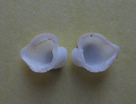 Meiocardia moltkiana - (Gmelin, 1791) Dscn5710