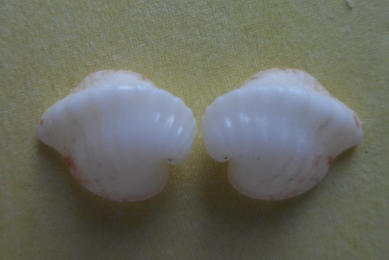 Meiocardia moltkiana - (Gmelin, 1791) Dscn5711
