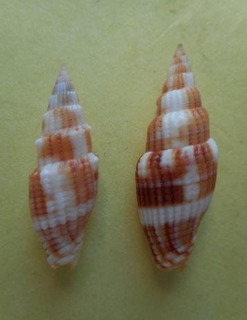 Vexillum cookorum - H. Turner, Gori & Salisbury, 2007  Dscn5712