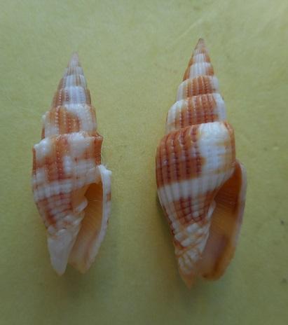 Vexillum cookorum - H. Turner, Gori & Salisbury, 2007  Dscn5713