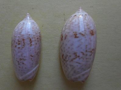 Americoliva reclusa (Marrat, 1871) - Worms = Oliva reclusa Marrat, 1871 Dscn5812