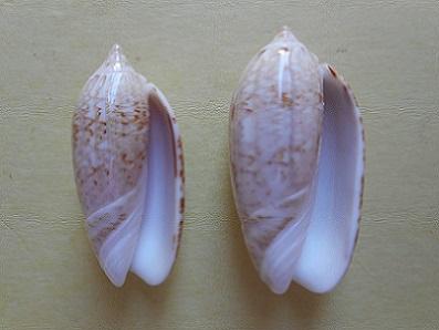 Americoliva reclusa (Marrat, 1871) - Worms = Oliva reclusa Marrat, 1871 Dscn5813